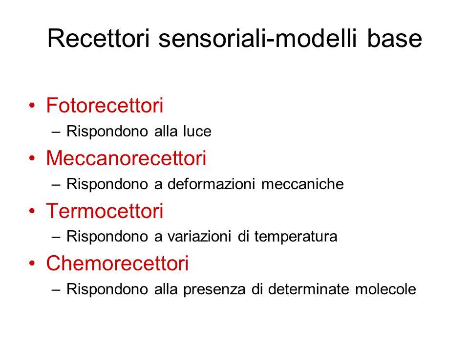 Recettori sensoriali-modelli base Fotorecettori –Rispondono alla luce Meccanorecettori –Rispondono a deformazioni meccaniche Termocettori –Rispondono a variazioni di temperatura Chemorecettori –Rispondono alla presenza di determinate molecole