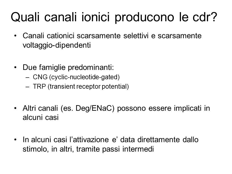 Quali canali ionici producono le cdr? Canali cationici scarsamente selettivi e scarsamente voltaggio-dipendenti Due famiglie predominanti: –CNG (cycli