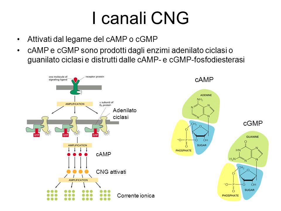 I canali CNG Attivati dal legame del cAMP o cGMP cAMP e cGMP sono prodotti dagli enzimi adenilato ciclasi o guanilato ciclasi e distrutti dalle cAMP- e cGMP-fosfodiesterasi cAMP CNG attivati Corrente ionica Adenilato ciclasi cAMP cGMP