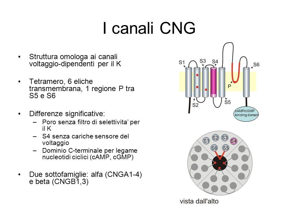 I canali CNG Struttura omologa ai canali voltaggio-dipendenti per il K Tetramero, 6 eliche transmembrana, 1 regione P tra S5 e S6 Differenze significative: –Poro senza filtro di selettivita' per il K –S4 senza cariche sensore del voltaggio –Dominio C-terminale per legame nucleotidi ciclici (cAMP, cGMP) Due sottofamiglie: alfa (CNGA1-4) e beta (CNGB1,3) cAMP/cGMP binding domain