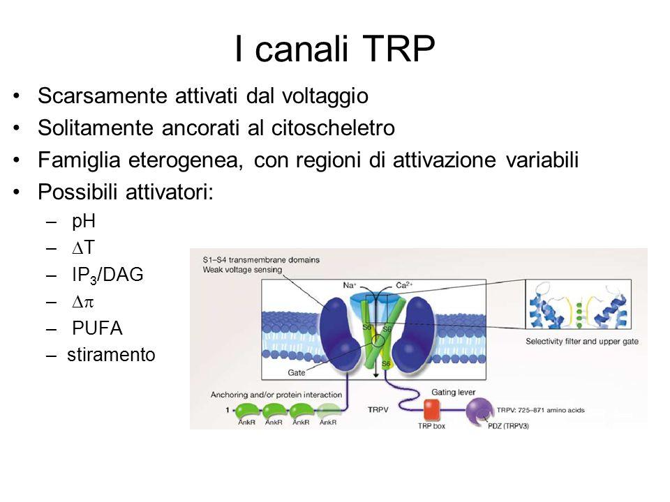 I canali TRP Scarsamente attivati dal voltaggio Solitamente ancorati al citoscheletro Famiglia eterogenea, con regioni di attivazione variabili Possib