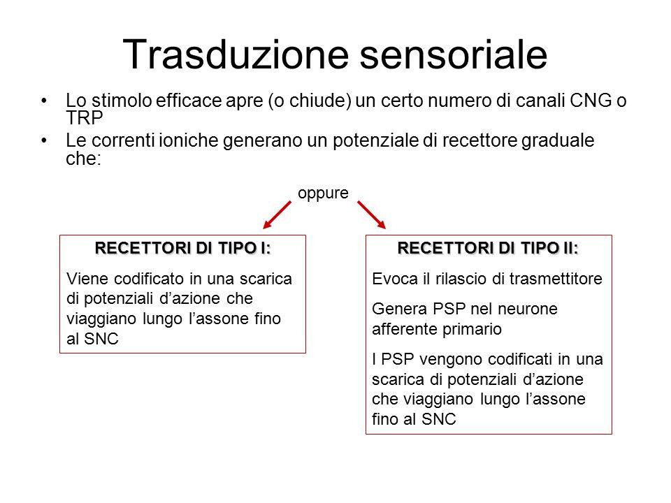 Trasduzione sensoriale Lo stimolo efficace apre (o chiude) un certo numero di canali CNG o TRP Le correnti ioniche generano un potenziale di recettore graduale che: RECETTORI DI TIPO I: Viene codificato in una scarica di potenziali d'azione che viaggiano lungo l'assone fino al SNC RECETTORI DI TIPO II: Evoca il rilascio di trasmettitore Genera PSP nel neurone afferente primario I PSP vengono codificati in una scarica di potenziali d'azione che viaggiano lungo l'assone fino al SNC oppure
