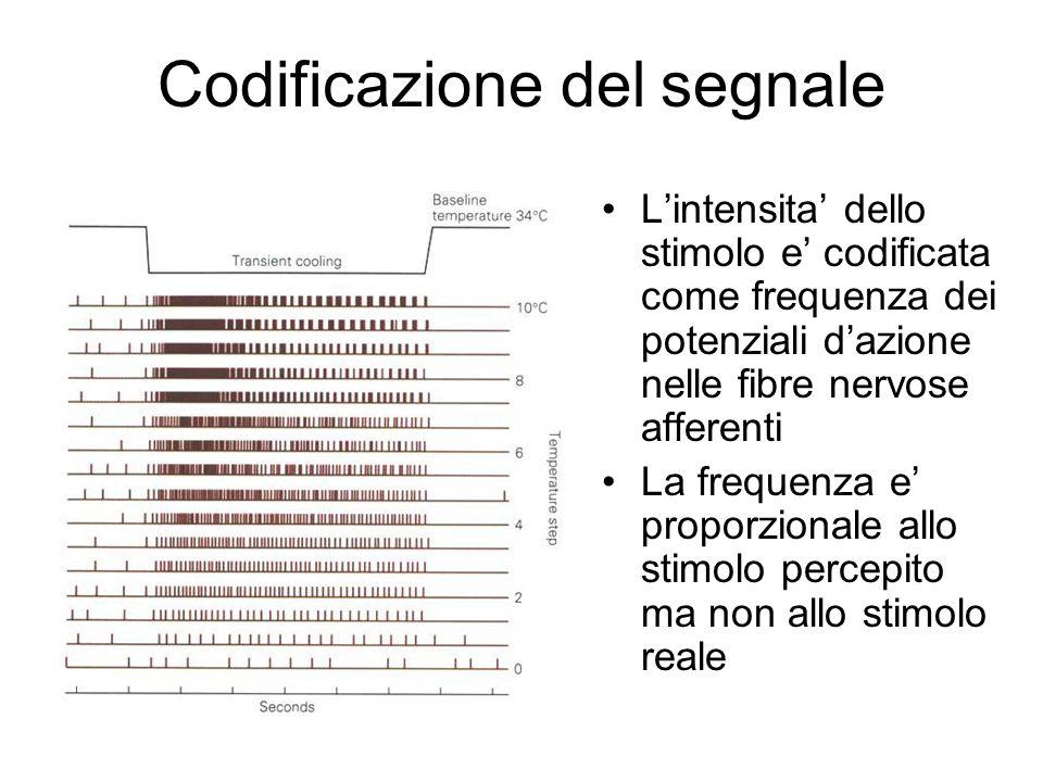 Codificazione del segnale L'intensita' dello stimolo e' codificata come frequenza dei potenziali d'azione nelle fibre nervose afferenti La frequenza e' proporzionale allo stimolo percepito ma non allo stimolo reale