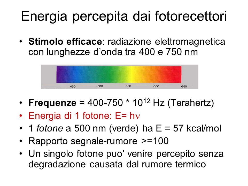 Energia percepita dai fotorecettori Stimolo efficace: radiazione elettromagnetica con lunghezze d'onda tra 400 e 750 nm Frequenze = 400-750 * 10 12 Hz