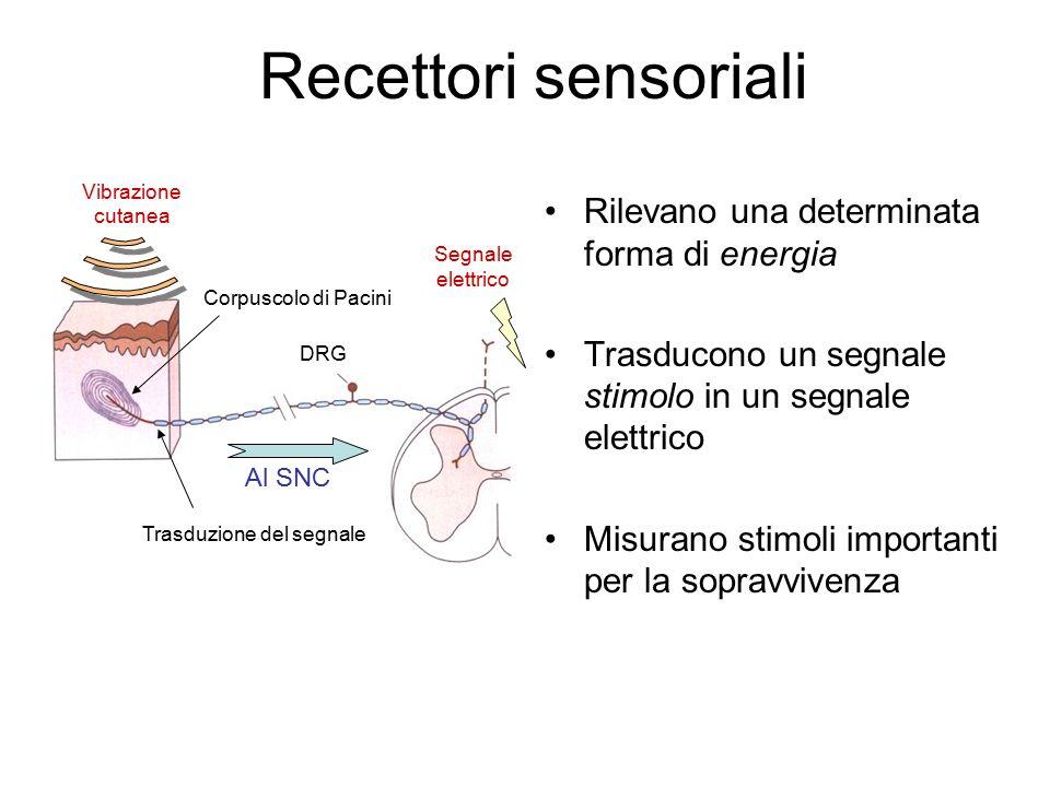 Recettori sensoriali Rilevano una determinata forma di energia Trasducono un segnale stimolo in un segnale elettrico Misurano stimoli importanti per la sopravvivenza Corpuscolo di Pacini Al SNC Trasduzione del segnale DRG Vibrazione cutanea Segnale elettrico