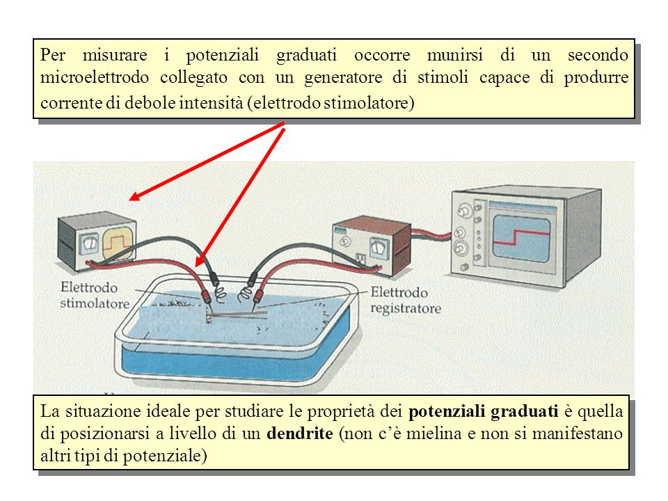 Per misurare i potenziali graduati occorre munirsi di un secondo microelettrodo collegato con un generatore di stimoli capace di produrre corrente di debole intensità (elettrodo stimolatore) La situazione ideale per studiare le proprietà dei potenziali graduati è quella di posizionarsi a livello di un dendrite (non c'è mielina e non si manifestano altri tipi di potenziale)