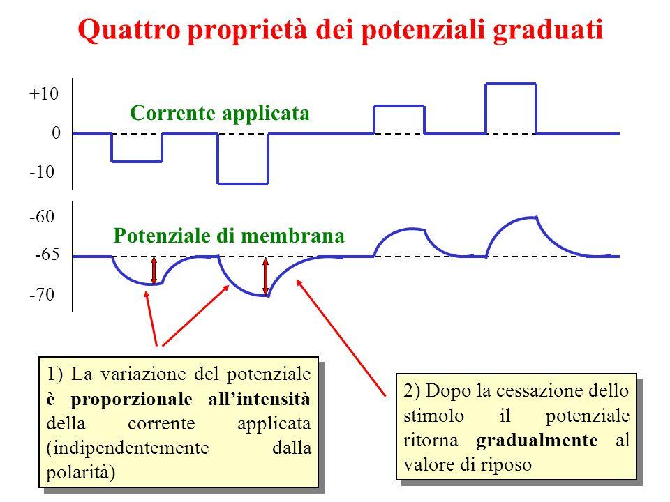 Quattro proprietà dei potenziali graduati 0 +10-10 0 -60 -70 Corrente applicata Potenziale di membrana 2) Dopo la cessazione dello stimolo il potenziale ritorna gradualmente al valore di riposo -65 1) La variazione del potenziale è proporzionale all'intensità della corrente applicata (indipendentemente dalla polarità)