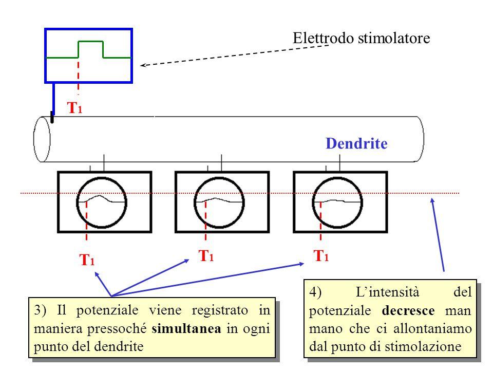 Dendrite T1T1 T1T1 T1T1 T1T1 Elettrodo stimolatore 4) L'intensità del potenziale decresce man mano che ci allontaniamo dal punto di stimolazione 3) Il potenziale viene registrato in maniera pressoché simultanea in ogni punto del dendrite