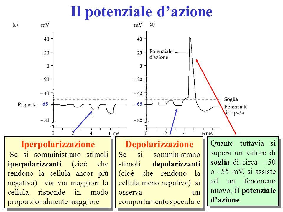-65 Il potenziale d'azione Iperpolarizzazione Se si somministrano stimoli iperpolarizzanti (cioè che rendono la cellula ancor più negativa) via via maggiori la cellula risponde in modo proporzionalmente maggiore Iperpolarizzazione Se si somministrano stimoli iperpolarizzanti (cioè che rendono la cellula ancor più negativa) via via maggiori la cellula risponde in modo proporzionalmente maggiore Quanto tuttavia si supera un valore di soglia di circa –50 o –55 mV, si assiste ad un fenomeno nuovo, il potenziale d'azione Depolarizzazione Se si somministrano stimoli depolarizzanti (cioè che rendono la cellula meno negativa) si osserva un comportamento speculare Depolarizzazione Se si somministrano stimoli depolarizzanti (cioè che rendono la cellula meno negativa) si osserva un comportamento speculare