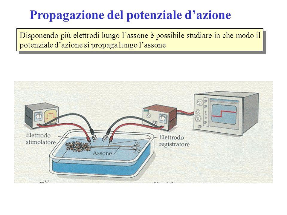 Propagazione del potenziale d'azione Disponendo più elettrodi lungo l'assone è possibile studiare in che modo il potenziale d'azione si propaga lungo l'assone