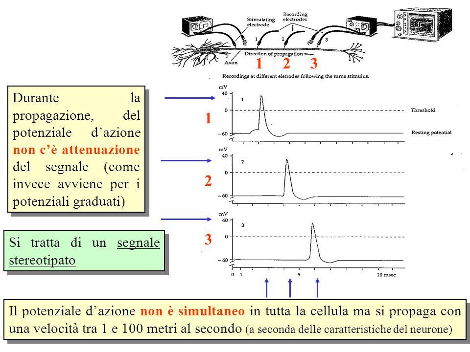 Il potenziale d'azione non è simultaneo in tutta la cellula ma si propaga con una velocità tra 1 e 100 metri al secondo (a seconda delle caratteristiche del neurone) Durante la propagazione, del potenziale d'azione non c'è attenuazione del segnale (come invece avviene per i potenziali graduati) Si tratta di un segnale stereotipato 123 1 2 3