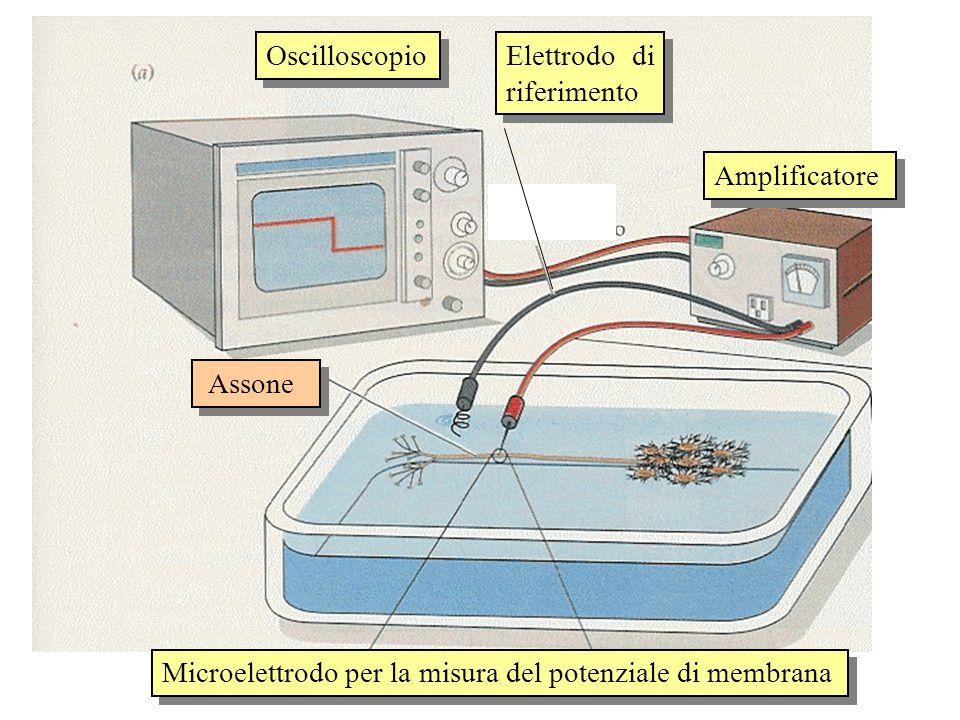 Elettrodo di riferimento Oscilloscopio Amplificatore Microelettrodo per la misura del potenziale di membrana Assone