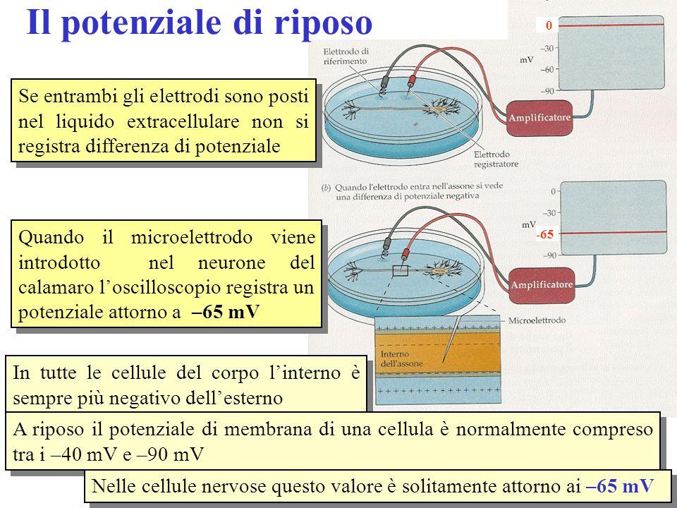 Quando il microelettrodo viene introdotto nel neurone del calamaro l'oscilloscopio registra un potenziale attorno a –65 mV Se entrambi gli elettrodi sono posti nel liquido extracellulare non si registra differenza di potenziale In tutte le cellule del corpo l'interno è sempre più negativo dell'esterno A riposo il potenziale di membrana di una cellula è normalmente compreso tra i –40 mV e –90 mV Nelle cellule nervose questo valore è solitamente attorno ai –65 mV Il potenziale di riposo -65 0