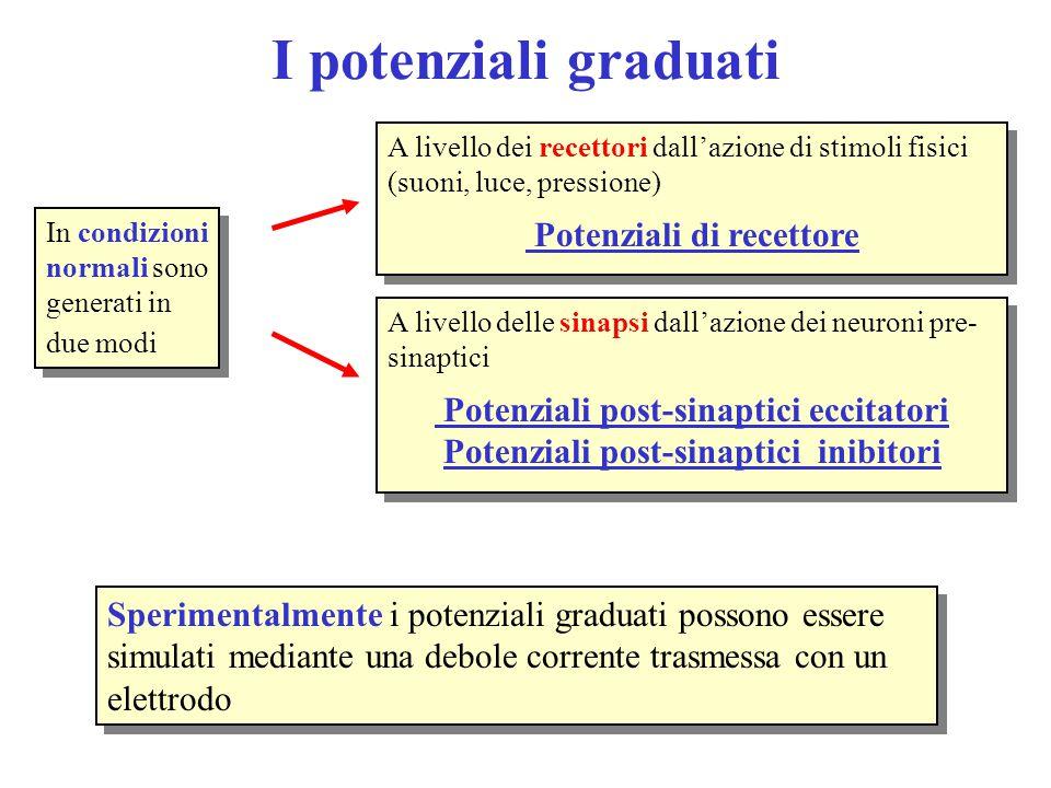I potenziali graduati In condizioni normali sono generati in due modi A livello dei recettori dall'azione di stimoli fisici (suoni, luce, pressione) P
