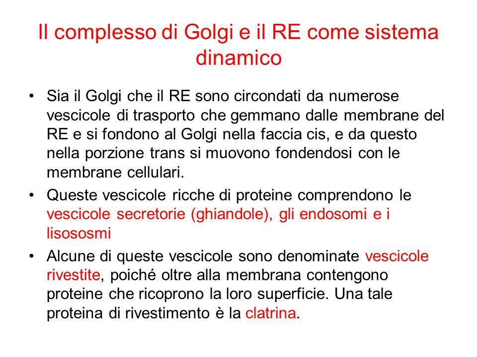 Il complesso di Golgi e il RE come sistema dinamico Sia il Golgi che il RE sono circondati da numerose vescicole di trasporto che gemmano dalle membra