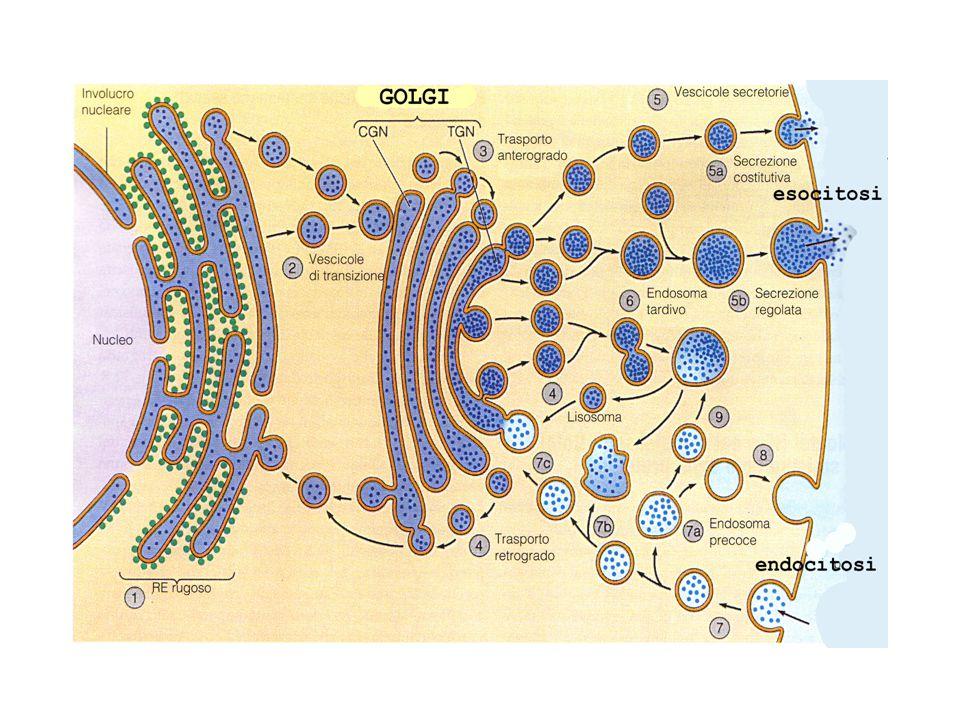GLICOSILAZIONE DELLE PROTEINE La maturazione delle proteine sintetizzate nel RER comprende una fase detta di glicosilazione la glicosilazione aggiunge catene laterali di carboidrati a specifici residui amminoacidici delle proteine esistono due tipi di glicosilazione: la glicosilazione legata ad azoto (N-glicosilazione) la glicosilazione legata ad ossigeno ( O-glicosilazione)