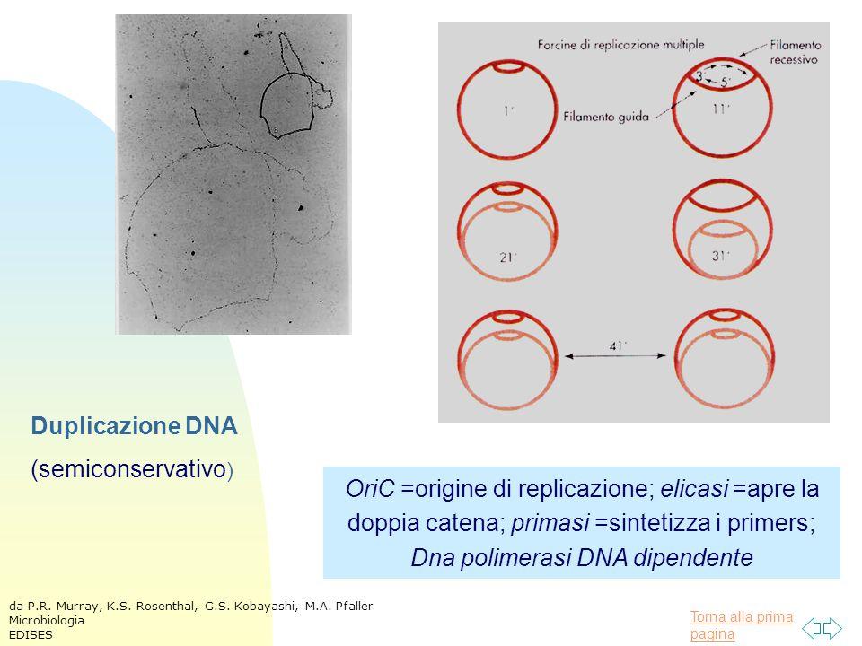 Torna alla prima pagina Duplicazione DNA (semiconservativo ) OriC =origine di replicazione; elicasi =apre la doppia catena; primasi =sintetizza i primers; Dna polimerasi DNA dipendente da P.R.