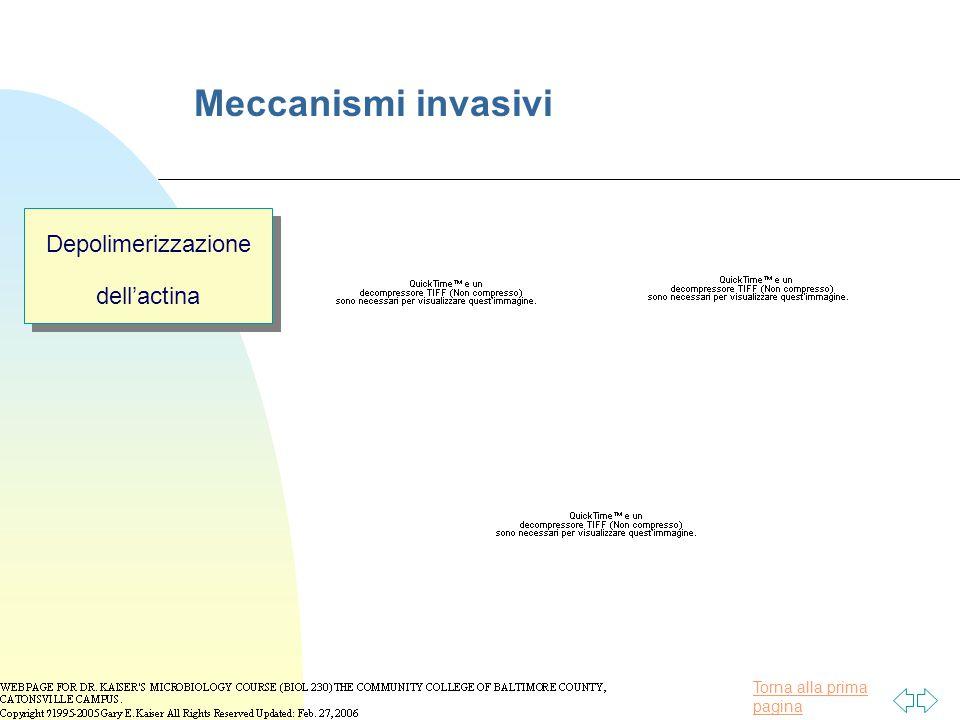 Torna alla prima pagina Meccanismi invasivi Depolimerizzazione dell'actina