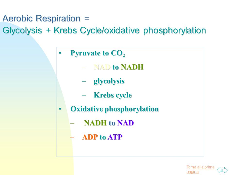 Torna alla prima pagina Aerobic Respiration = Glycolysis + Krebs Cycle/oxidative phosphorylation Pyruvate to CO 2Pyruvate to CO 2 –NAD to NADH –glycolysis –Krebs cycle Oxidative phosphorylationOxidative phosphorylation – NADH to NAD –ADP to ATP