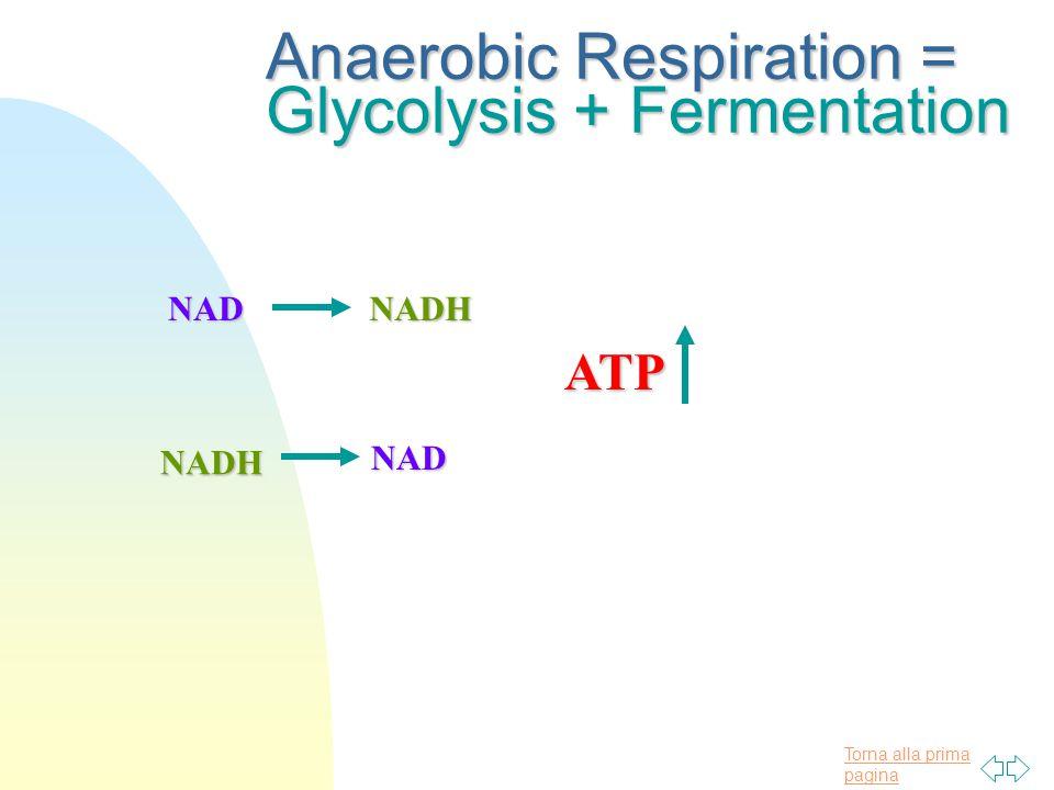 Torna alla prima pagina Anaerobic Respiration = Glycolysis + Fermentation NADNADH NADH NAD ATP