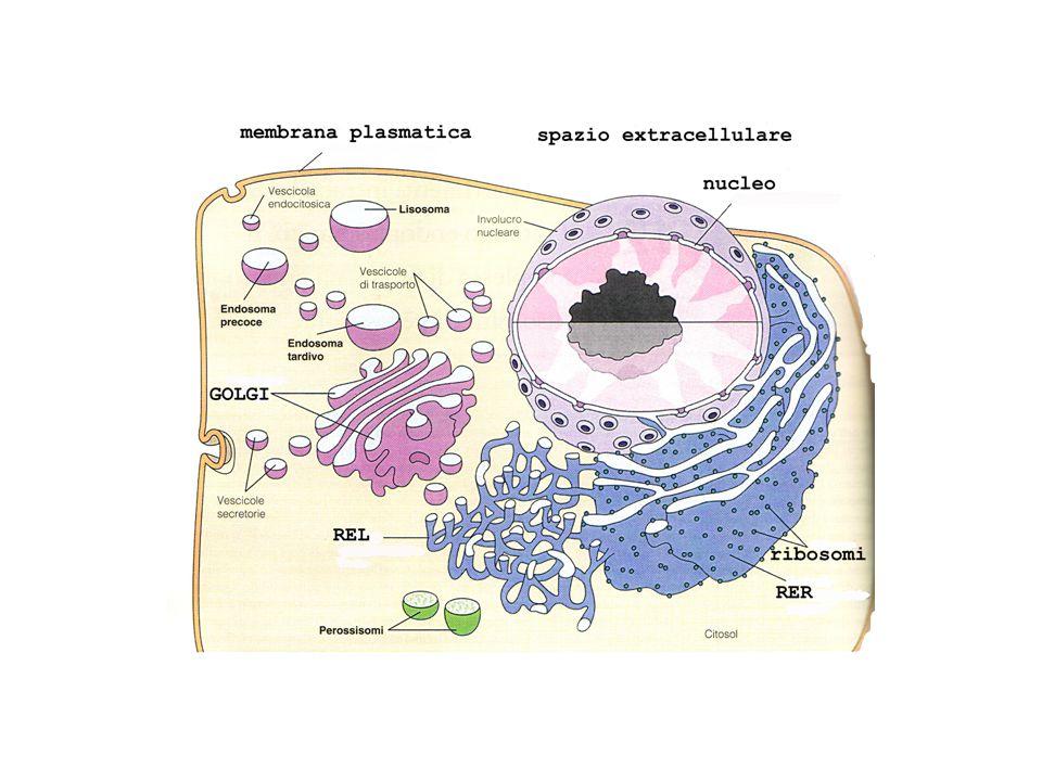Catabolismo del glicogeno epatico