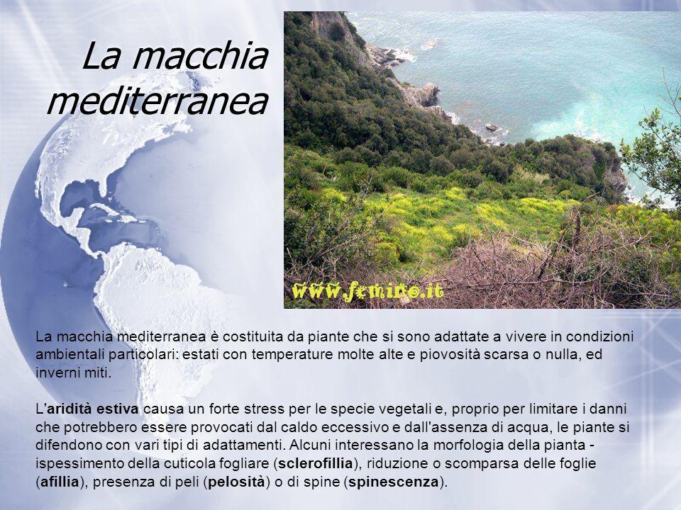 La macchia mediterranea La macchia mediterranea è costituita da piante che si sono adattate a vivere in condizioni ambientali particolari: estati con