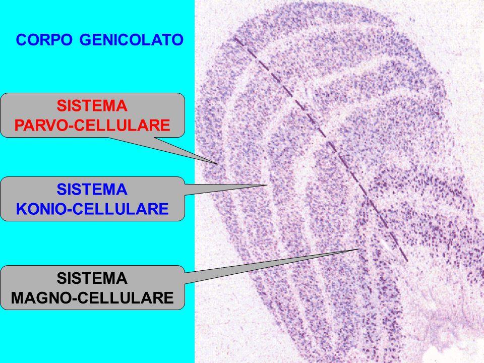 CORPO GENICOLATO SISTEMA PARVO-CELLULARE SISTEMA MAGNO-CELLULARE SISTEMA KONIO-CELLULARE