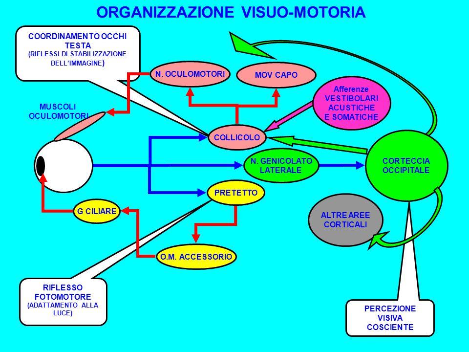 PERCEZIONE VISIVA COSCIENTE CORTECCIA OCCIPITALE ALTRE AREE CORTICALI N.