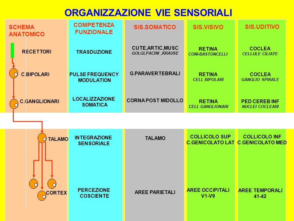 RECETTORI C.BIPOLARI C.GANGLIONARI TALAMO CORTEX RETINA CONI-BASTONCELLI RETINA CELL BIPOLARI RETINA CELL GANGLIONARI COLLICOLO SUP C.GENICOLATO LAT AREE OCCIPITALI V1-V9 TRASDUZIONE PULSE FREQUENCY MODULATION LOCALIZZAZIONE SOMATICA INTEGRAZIONE SENSORIALE PERCEZIONE COSCIENTE ORGANIZZAZIONE VIE SENSORIALI CUTE,ARTIC,MUSC GOLGI,PACINI,KRAUSE TALAMO AREE PARIETALI G.PARAVERTEBRALI CORNA POST MIDOLLO SCHEMA ANATOMICO COMPETENZA FUNZIONALE SIS.SOMATICOSIS.VISIVO COCLEA CELLULE CILIATE COCLEA GANGLIO SPIRALE PED CEREB INF NUCLEI COCLEARI COLLICOLO INF C.GENICOLATO MED AREE TEMPORALI 41-42 SIS.UDITIVO INCROCIAMENTO MIDOLLARE CHIASMA INCROCIAMENTO BULBARE