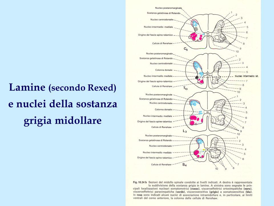 Sostanza grigia: lamina I ( zona spongiosa ) LocalizzazioneApice-testa del corno posteriore Livelli Tutti i neuromeri StrutturaCellule sparse; attraversata da fasci di fibre longitudinali NucleiNc.