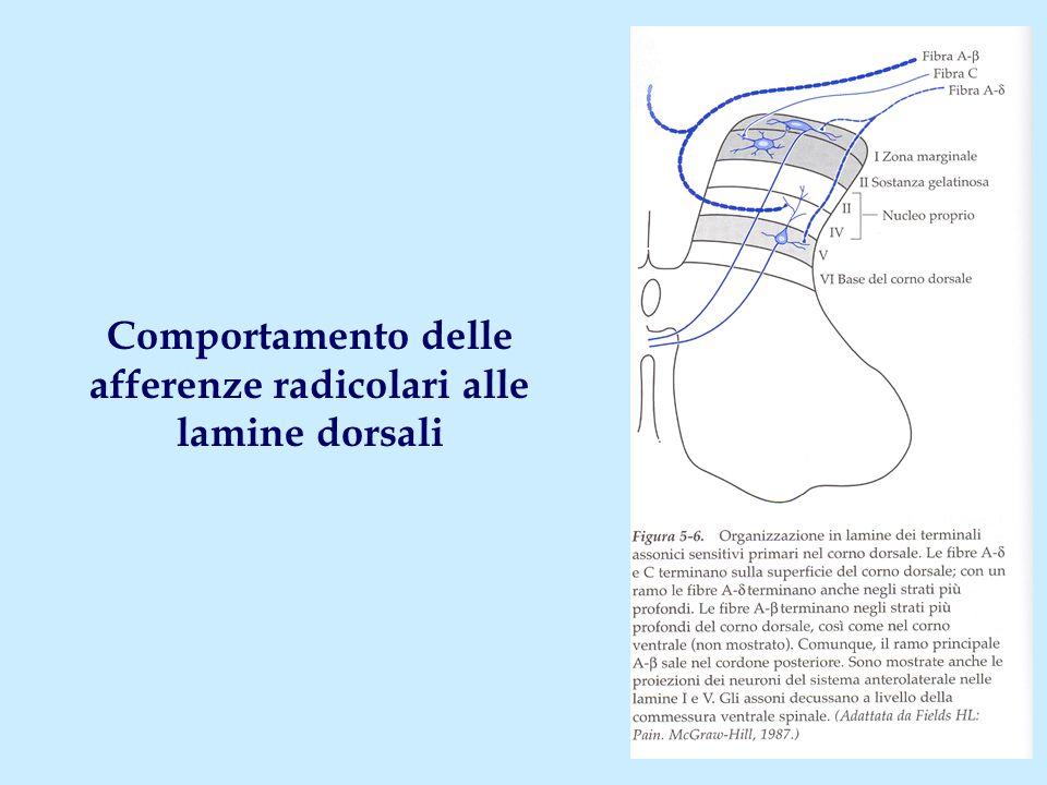 Lamine II-IV: organizzazione delle connessioni Radici posteriori (fibre C e A  ) Lamine II, III Lamina IV (nc.