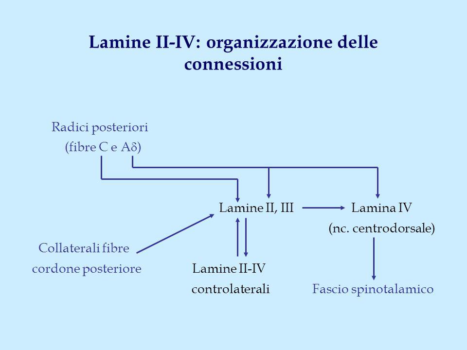 Lamine II-IV: organizzazione delle connessioni Radici posteriori (fibre C e A  ) Lamine II, III Lamina IV (nc. centrodorsale) Collaterali fibre cordo