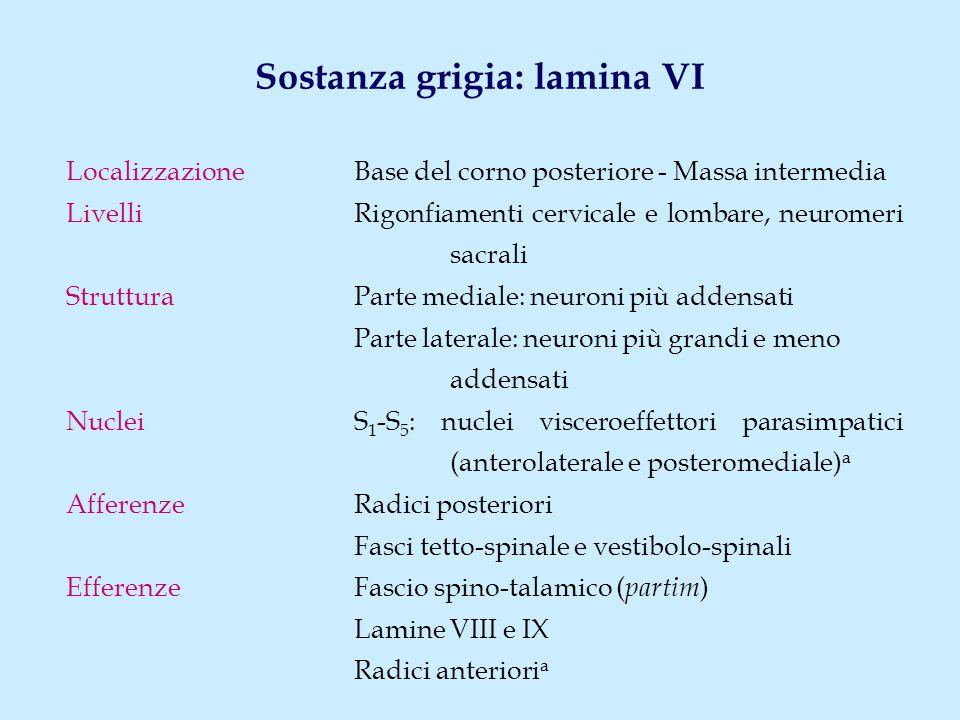 Sostanza grigia: lamina VII (1) LocalizzazioneMassa intermedia (tutti i neuromeri); corno laterale (C 8 -L 2 ); corno anteriore, parte centrale (rigonfiamenti) Livelli Tutti i neuromeri Tipi neuronaliNeuroni II tipo di Golgi Cellule di Renshaw Neuroni di associazione intersegmentale Neuroni di proiezione