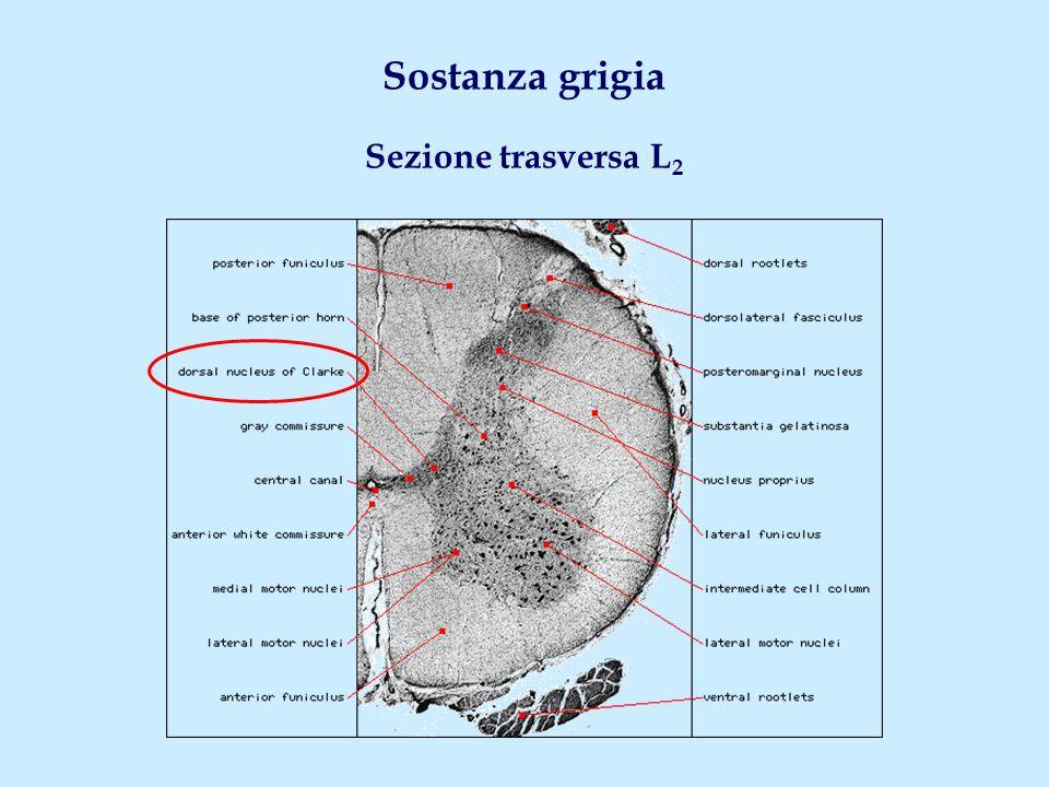 Lamine V-VII: organizzazione delle connessioni Fibre di associazione intersegmentaria Radici posteriori Lamina V (fibre sensitive) Lamine VI, VII Lamine VIII, IX Fasci tetto-spinale, vestibolo-spinali