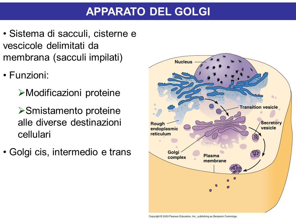 APPARATO DEL GOLGI Sistema di sacculi, cisterne e vescicole delimitati da membrana (sacculi impilati) Funzioni:  Modificazioni proteine  Smistamento