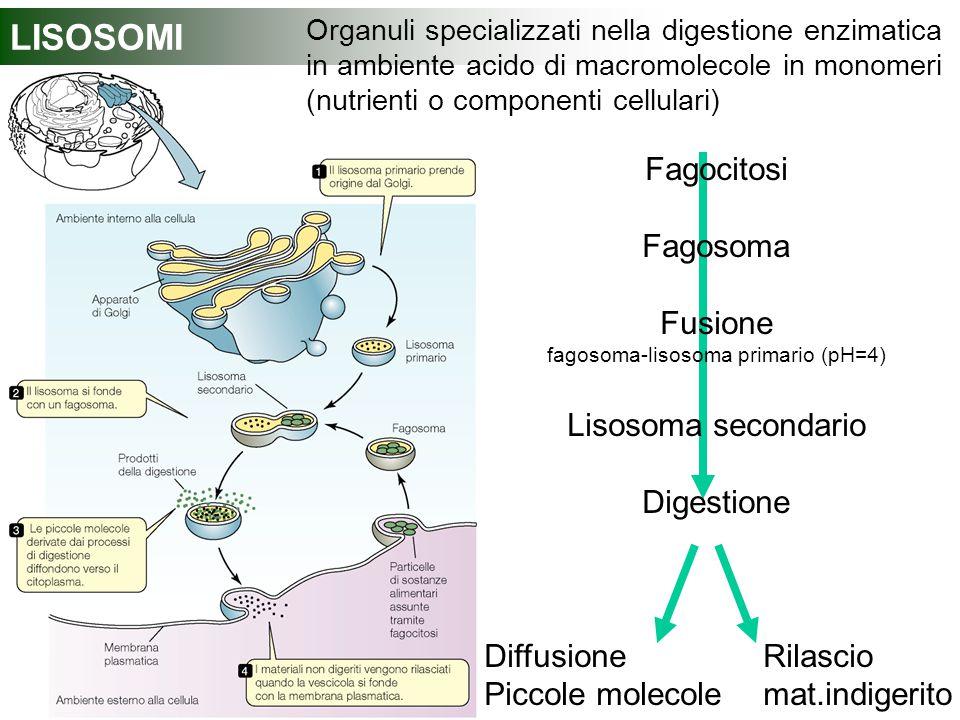 LISOSOMI Organuli specializzati nella digestione enzimatica in ambiente acido di macromolecole in monomeri (nutrienti o componenti cellulari) Fagocito