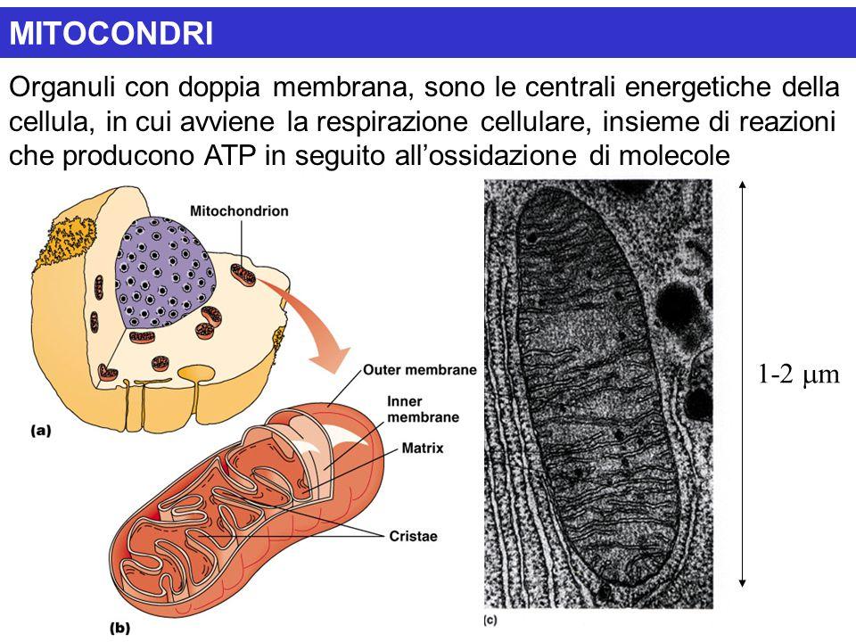 1-2  m MITOCONDRI Organuli con doppia membrana, sono le centrali energetiche della cellula, in cui avviene la respirazione cellulare, insieme di reaz
