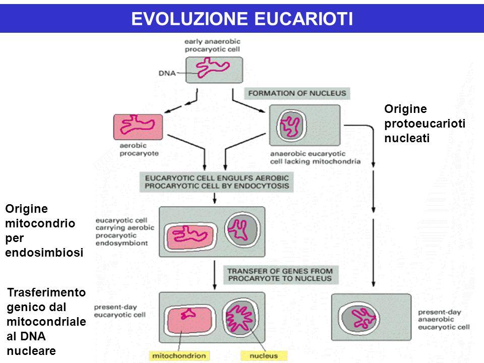 EVOLUZIONE EUCARIOTI Origine protoeucarioti nucleati Origine mitocondrio per endosimbiosi Trasferimento genico dal mitocondriale al DNA nucleare