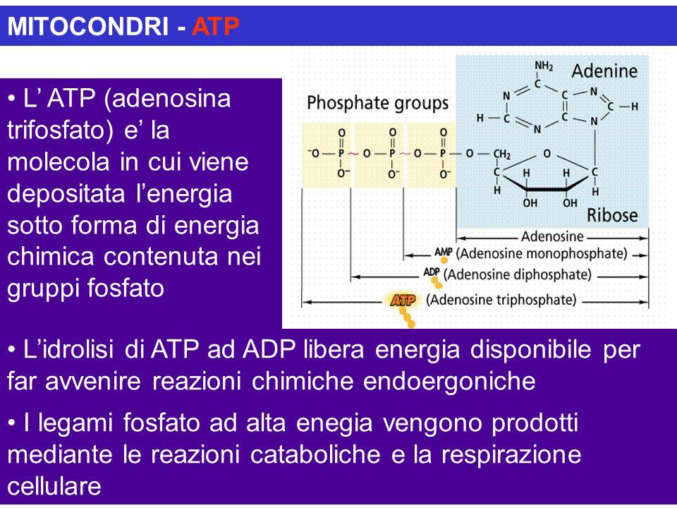 MITOCONDRI - ATP L' ATP (adenosina trifosfato) e' la molecola in cui viene depositata l'energia sotto forma di energia chimica contenuta nei gruppi fo
