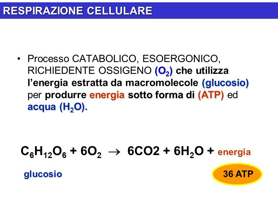 (O 2 ) (glucosio) energia sotto forma di (ATP) acqua (H 2 O).Processo CATABOLICO, ESOERGONICO, RICHIEDENTE OSSIGENO (O 2 ) che utilizza l'energia estr