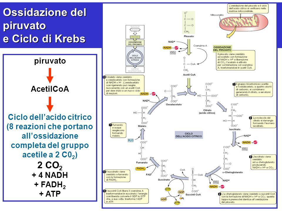 Ossidazione del piruvato e Ciclo di Krebs piruvato AcetilCoA Ciclo dell'acido citrico (8 reazioni che portano all'ossidazione completa del gruppo acet
