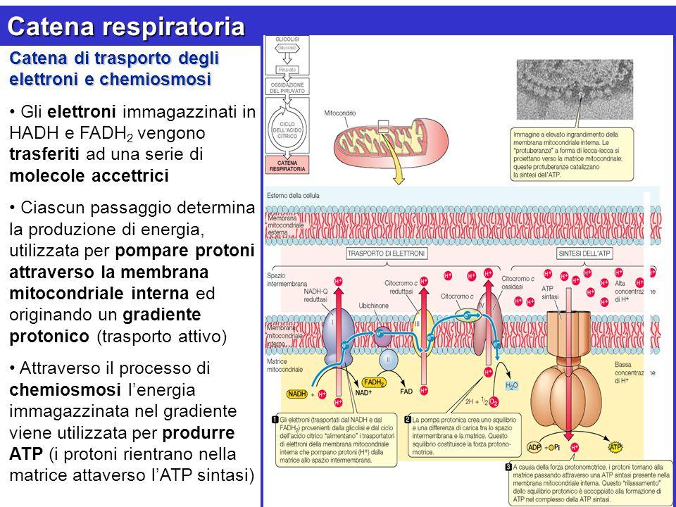 Catena respiratoria Catena di trasporto degli elettroni e chemiosmosi Gli elettroni immagazzinati in HADH e FADH 2 vengono trasferiti ad una serie di