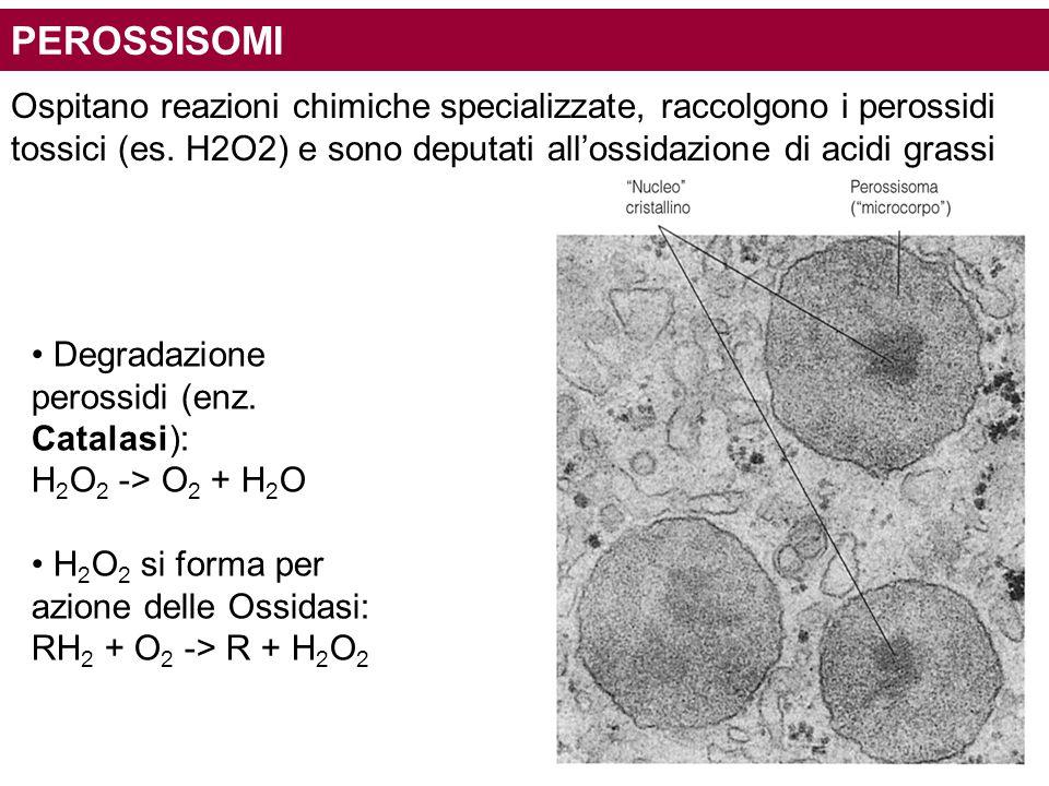 PEROSSISOMI Ospitano reazioni chimiche specializzate, raccolgono i perossidi tossici (es. H2O2) e sono deputati all'ossidazione di acidi grassi Degrad