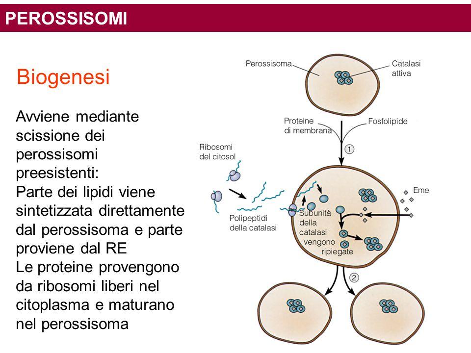 Biogenesi Avviene mediante scissione dei perossisomi preesistenti: Parte dei lipidi viene sintetizzata direttamente dal perossisoma e parte proviene d