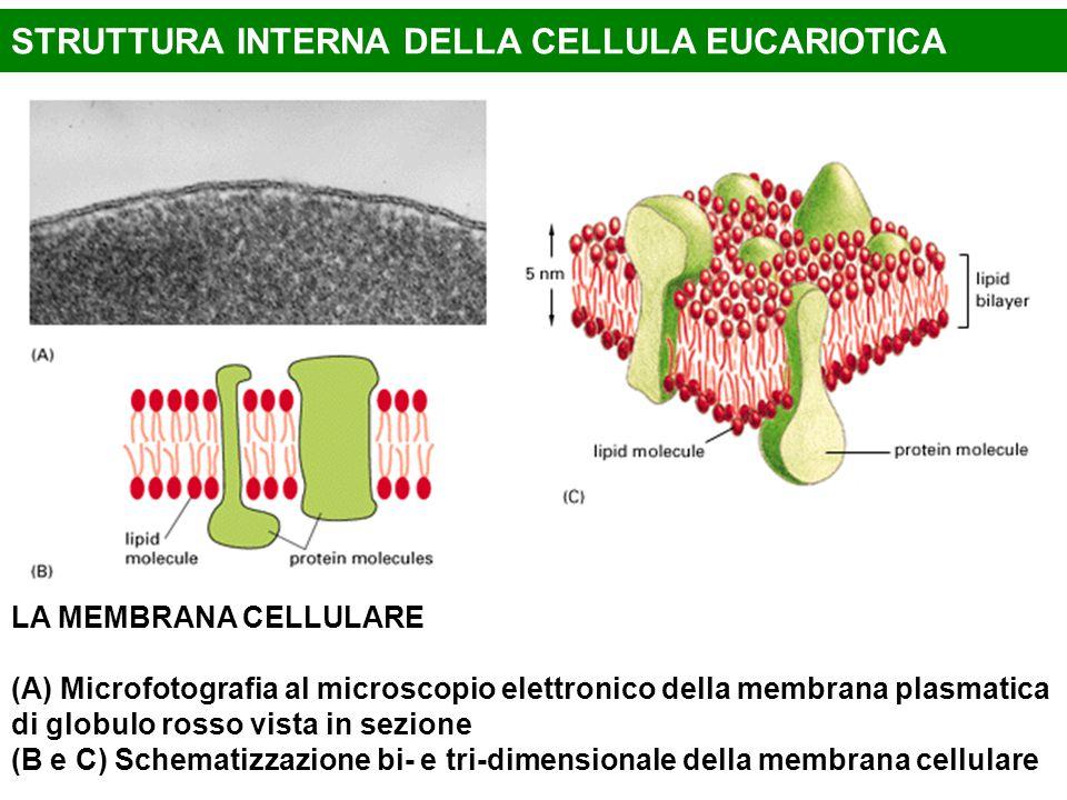 LA MEMBRANA CELLULARE (A) Microfotografia al microscopio elettronico della membrana plasmatica di globulo rosso vista in sezione (B e C) Schematizzazi