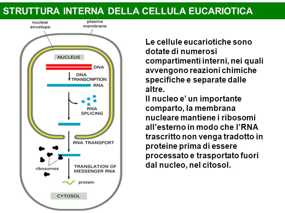 Le cellule eucariotiche sono dotate di numerosi compartimenti interni, nei quali avvengono reazioni chimiche specifiche e separate dalle altre. Il nuc