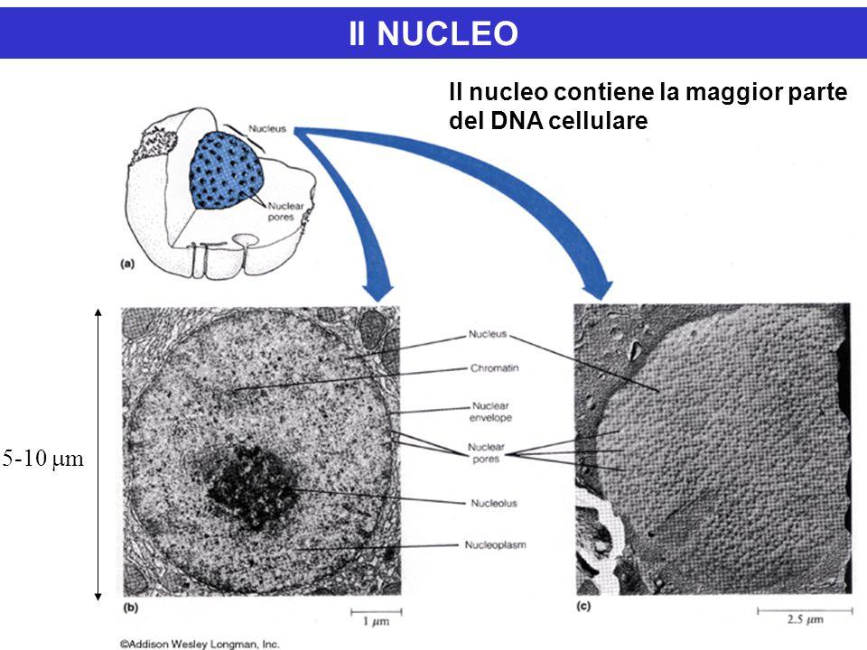 5-10  m Il NUCLEO Il nucleo contiene la maggior parte del DNA cellulare