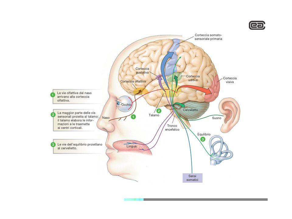Sensibilità somatica generale Costituita da tutti i meccanismi nervosi che raccolgono le informazioni sensoriali dall'intero organismo Sensibilità speciale Visiva, uditiva, olfattiva, gustativa, vestibolare