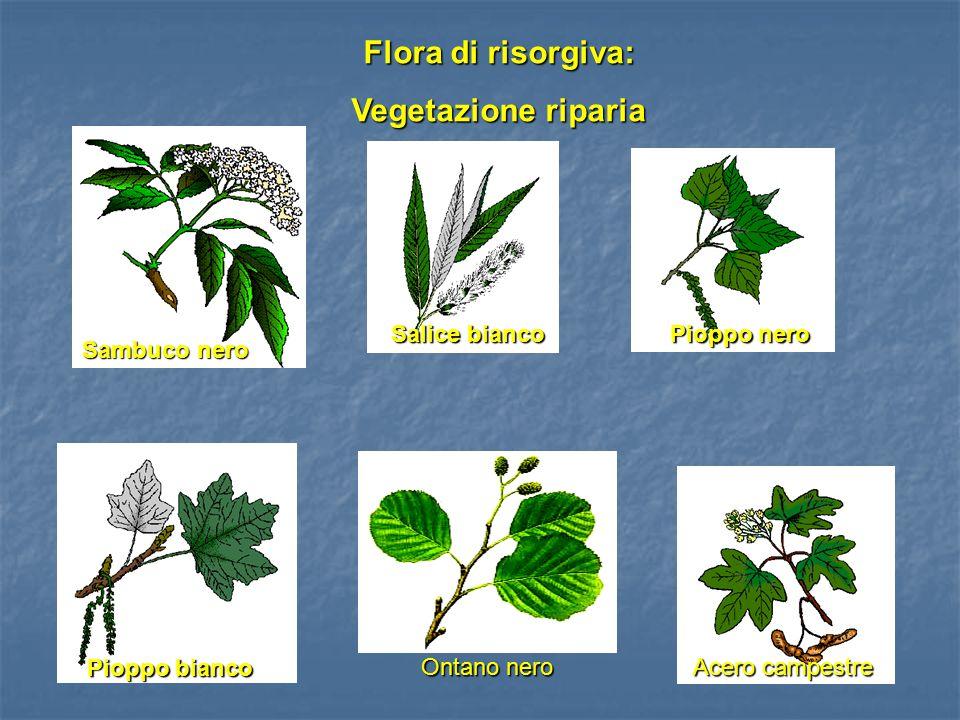 Sambuco nero Salice bianco Pioppo nero Pioppo bianco Flora di risorgiva: Vegetazione riparia Ontano nero Acero campestre Foto!!