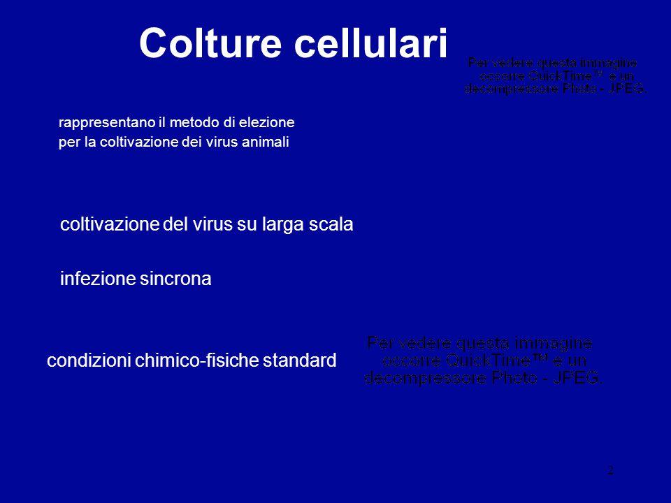 2 Colture cellulari rappresentano il metodo di elezione per la coltivazione dei virus animali coltivazione del virus su larga scala infezione sincrona